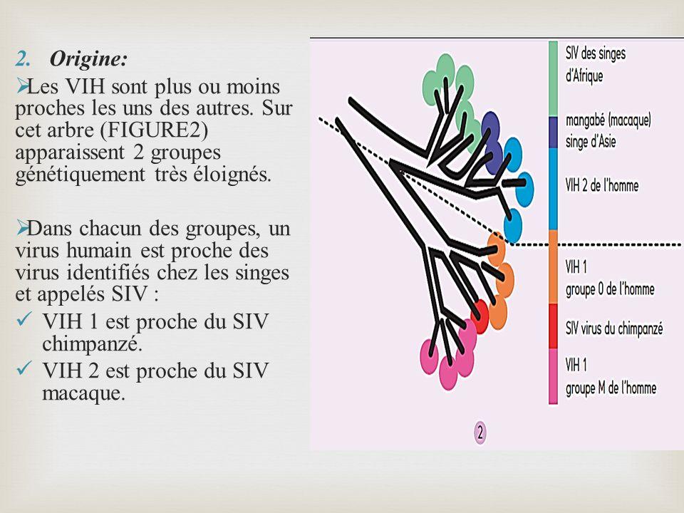 Origine: Les VIH sont plus ou moins proches les uns des autres. Sur cet arbre (FIGURE2) apparaissent 2 groupes génétiquement très éloignés.