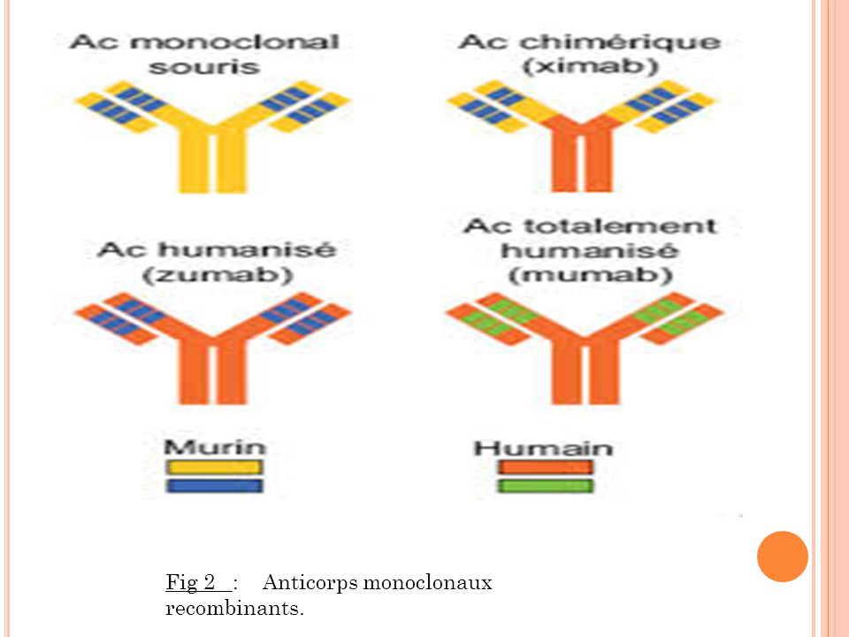 Fig 2 : Anticorps monoclonaux recombinants.