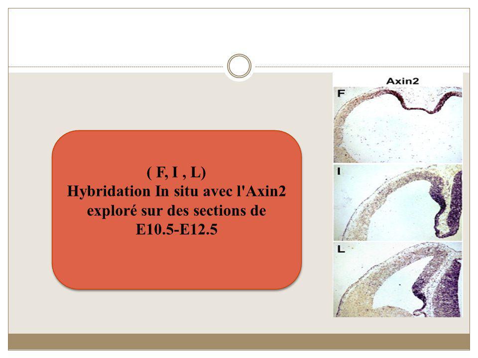 ( F, I , L) Hybridation In situ avec l Axin2 exploré sur des sections de E10.5-E12.5