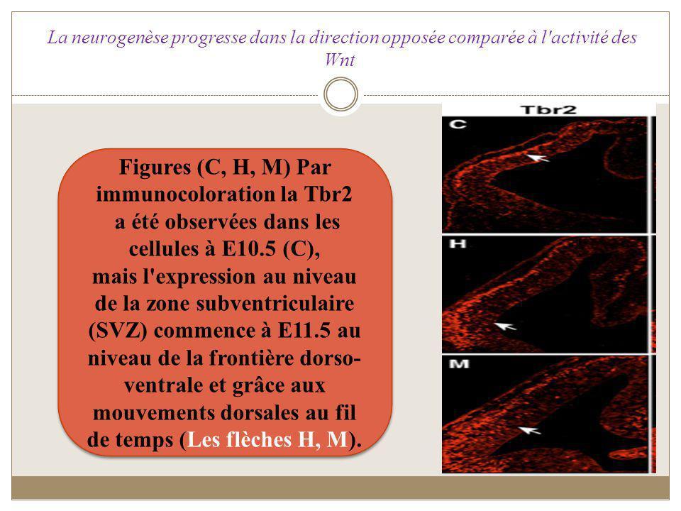 Figures (C, H, M) Par immunocoloration la Tbr2