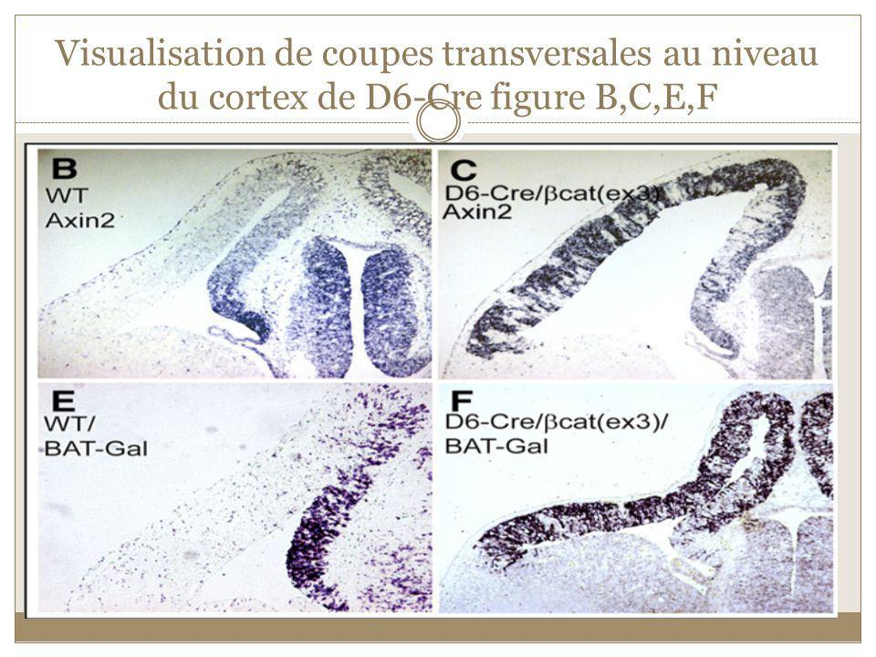Visualisation de coupes transversales au niveau du cortex de D6-Cre figure B,C,E,F