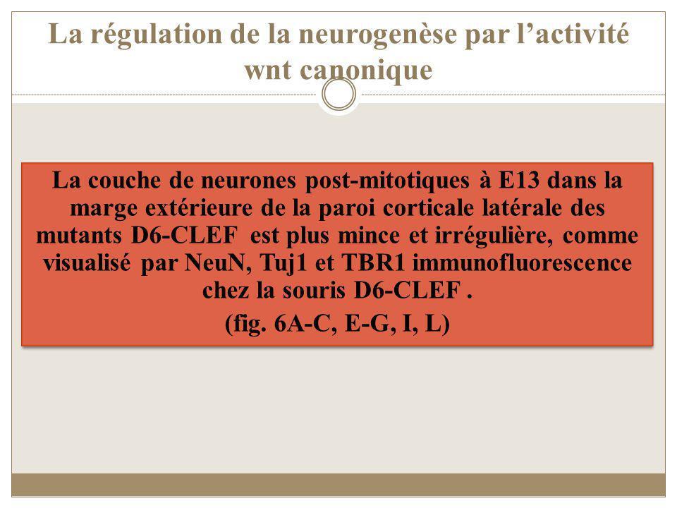 La régulation de la neurogenèse par l'activité wnt canonique
