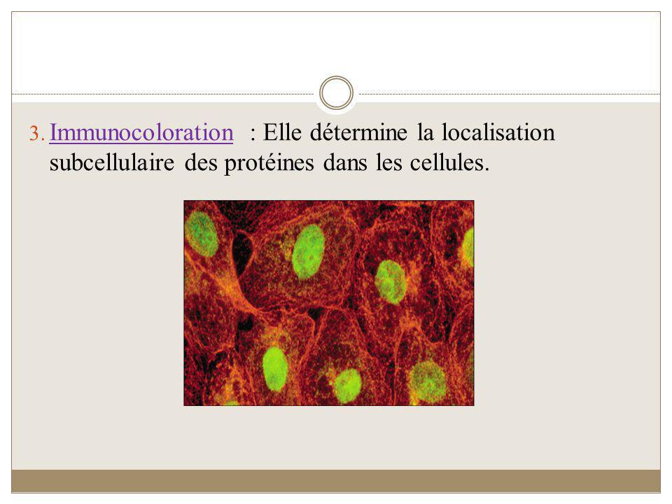 Immunocoloration : Elle détermine la localisation subcellulaire des protéines dans les cellules.