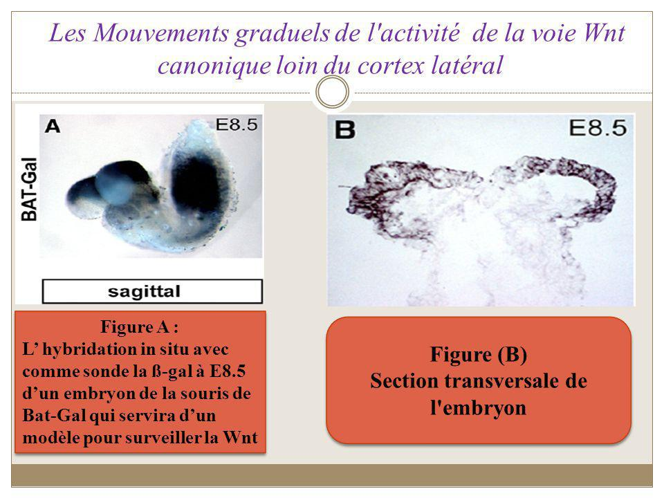 Section transversale de l embryon