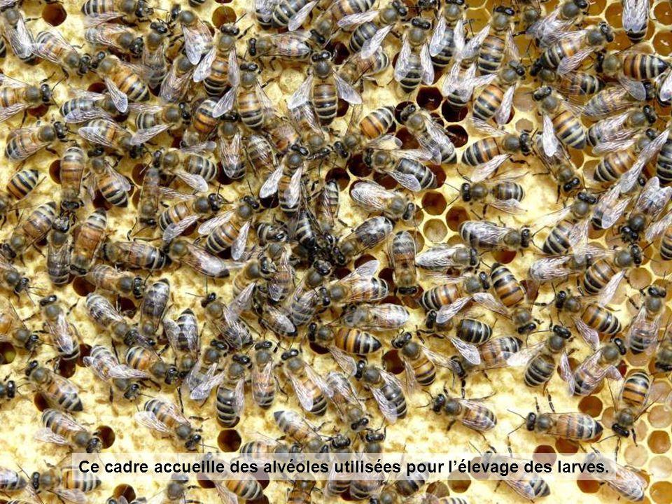 Ce cadre accueille des alvéoles utilisées pour l'élevage des larves.