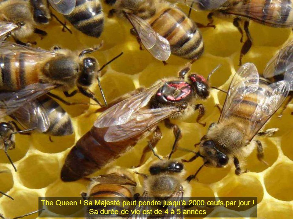 The Queen ! Sa Majesté peut pondre jusqu'à 2000 œufs par jour !