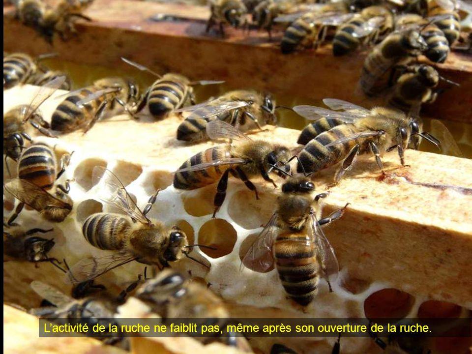 L'activité de la ruche ne faiblit pas, même après son ouverture de la ruche.