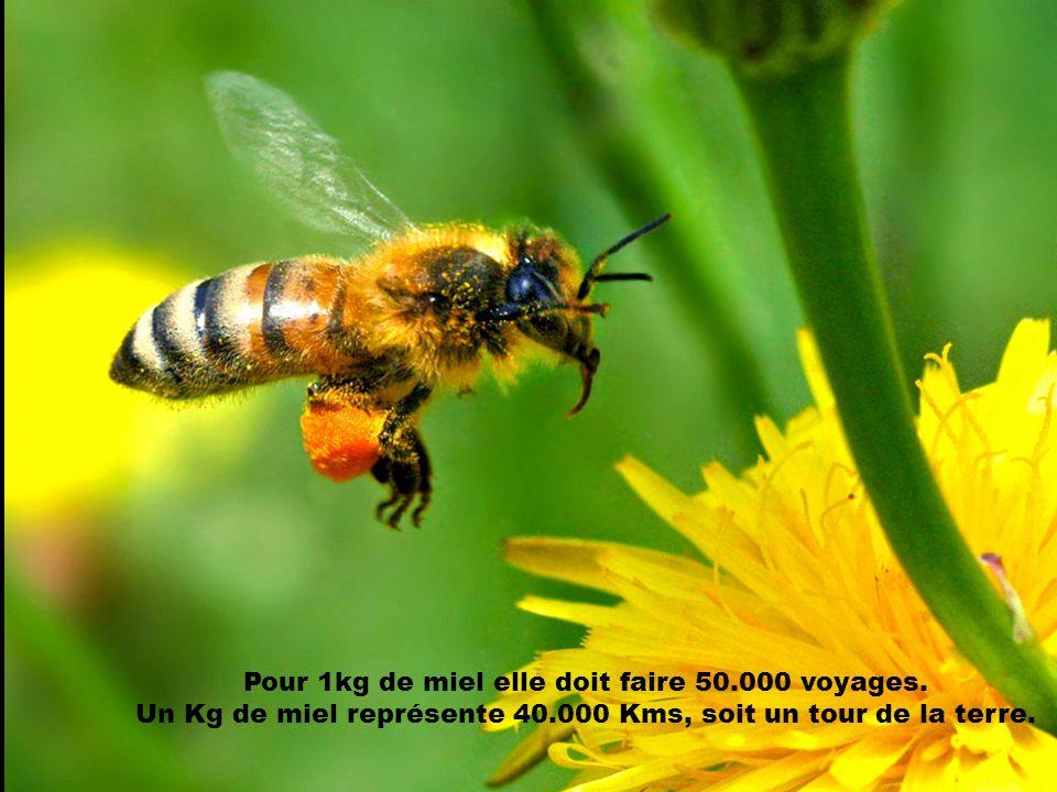 Pour 1kg de miel elle doit faire 50.000 voyages.