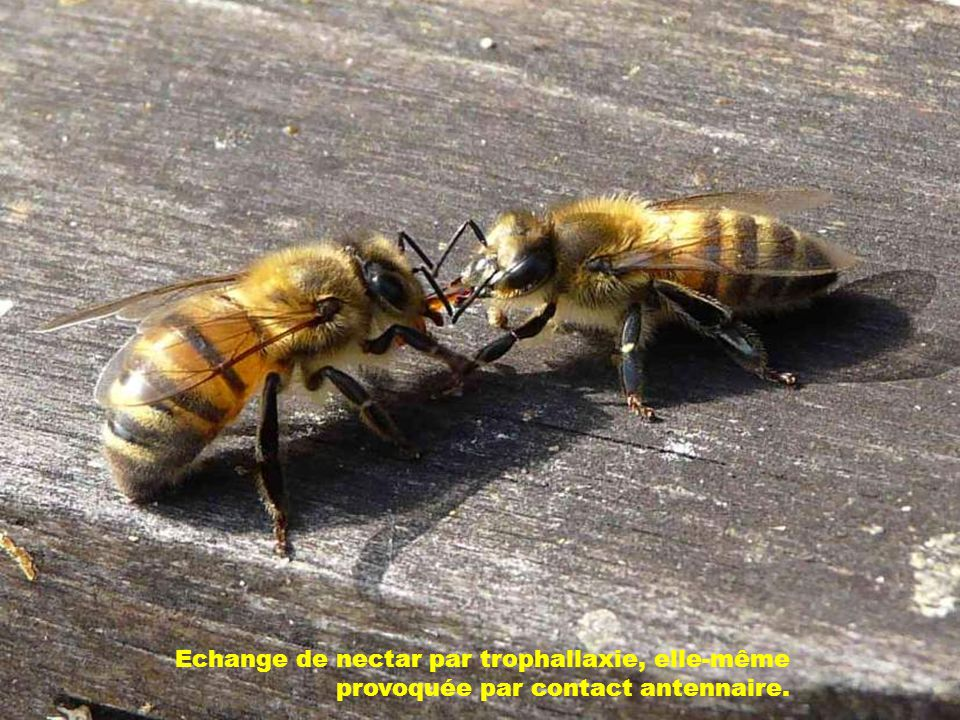 Echange de nectar par trophallaxie, elle-même