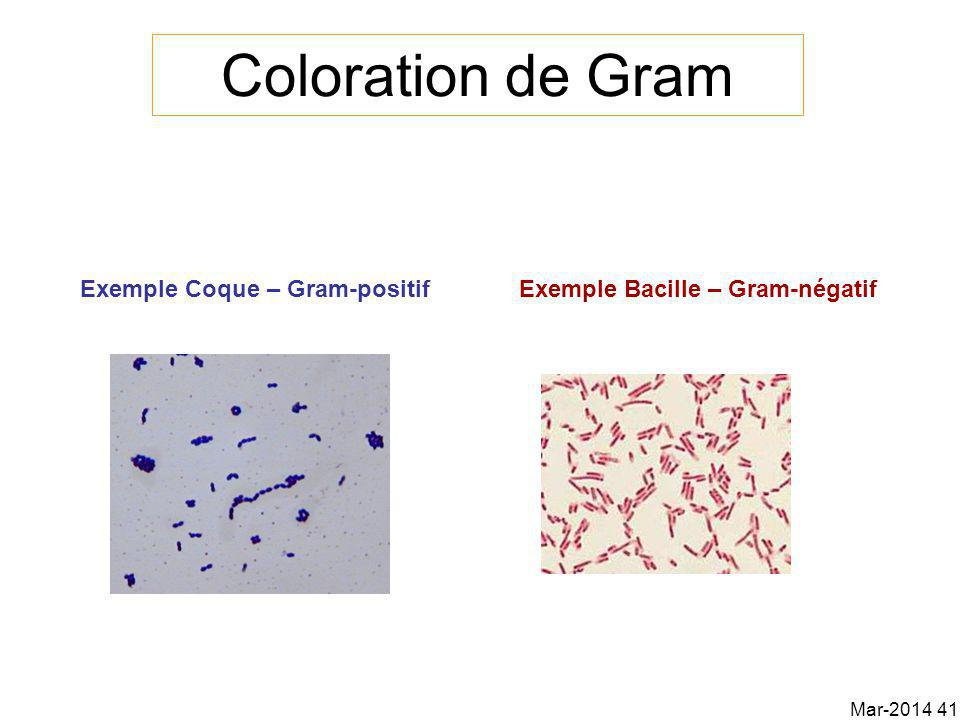 Coloration de Gram Exemple Coque – Gram-positif