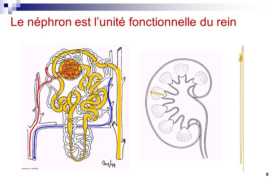 Le néphron est l'unité fonctionnelle du rein