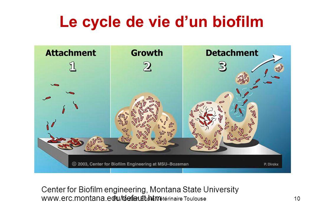 Le cycle de vie d'un biofilm