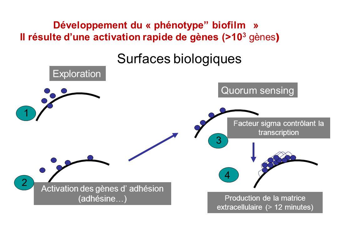 Développement du « phénotype biofilm »