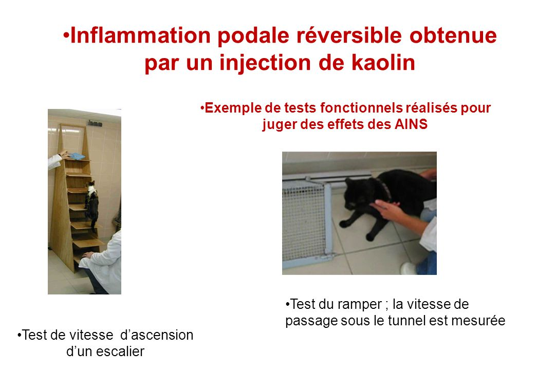 Inflammation podale réversible obtenue par un injection de kaolin