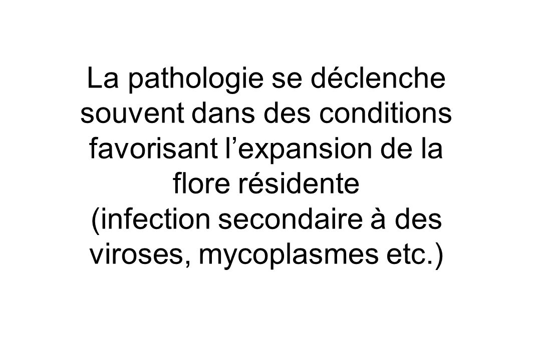 La pathologie se déclenche souvent dans des conditions favorisant l'expansion de la flore résidente (infection secondaire à des viroses, mycoplasmes etc.)