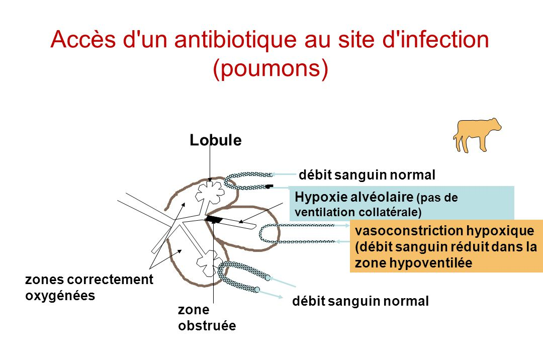 Accès d un antibiotique au site d infection (poumons)