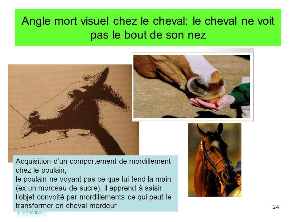 Angle mort visuel chez le cheval: le cheval ne voit pas le bout de son nez