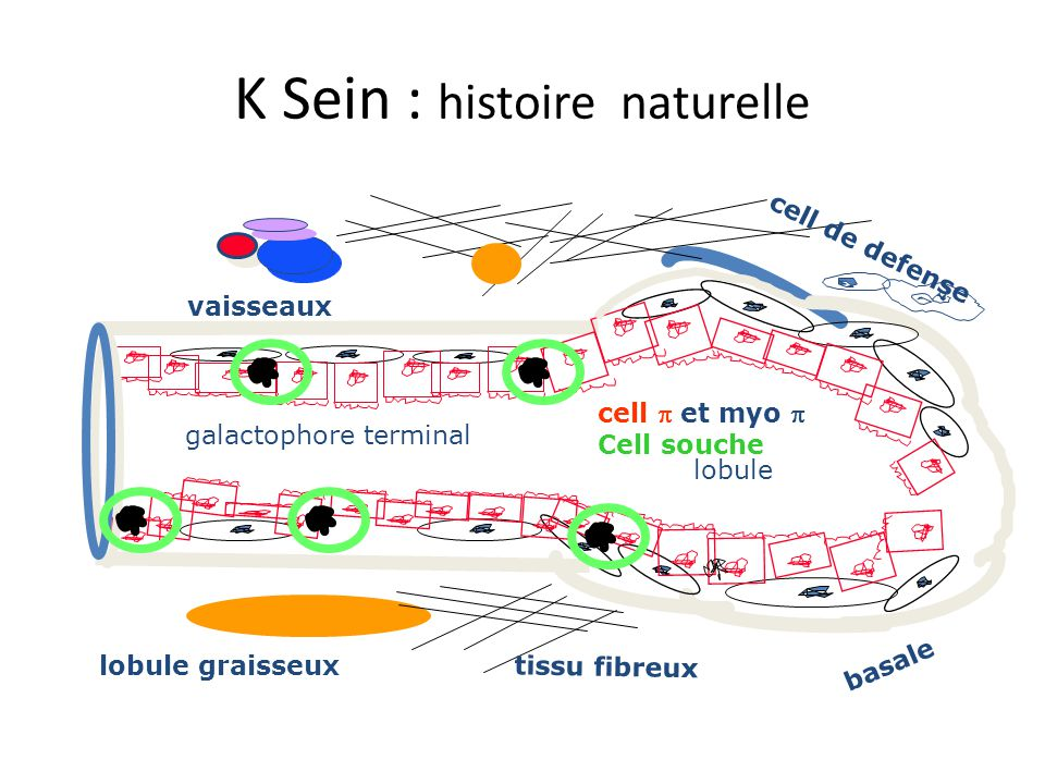 K Sein : histoire naturelle