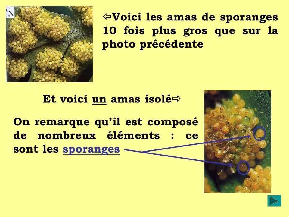 Voici les amas de sporanges 10 fois plus gros que sur la photo précédente