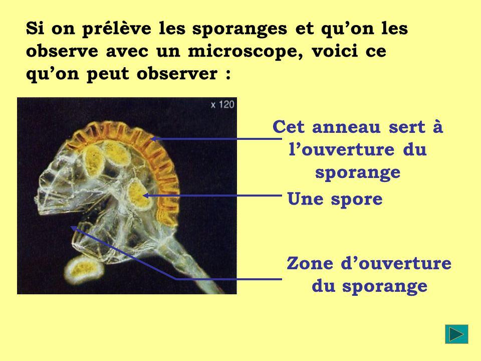 Cet anneau sert à l'ouverture du sporange Zone d'ouverture du sporange