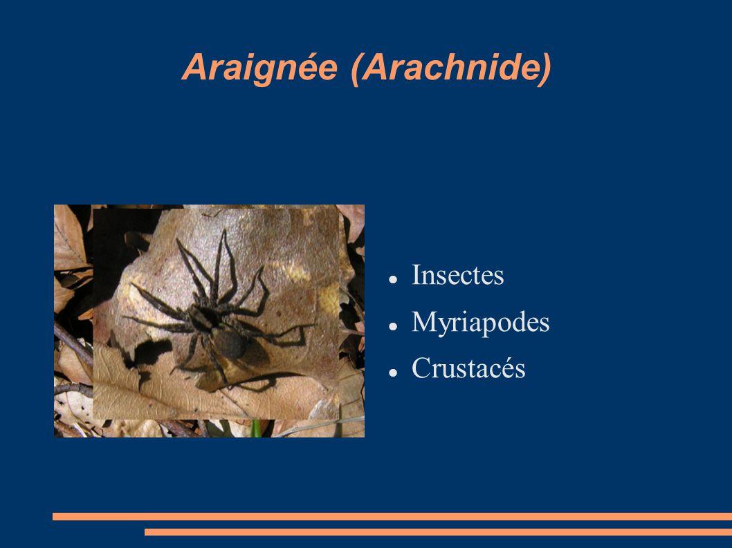 Araignée (Arachnide) Insectes Myriapodes Crustacés
