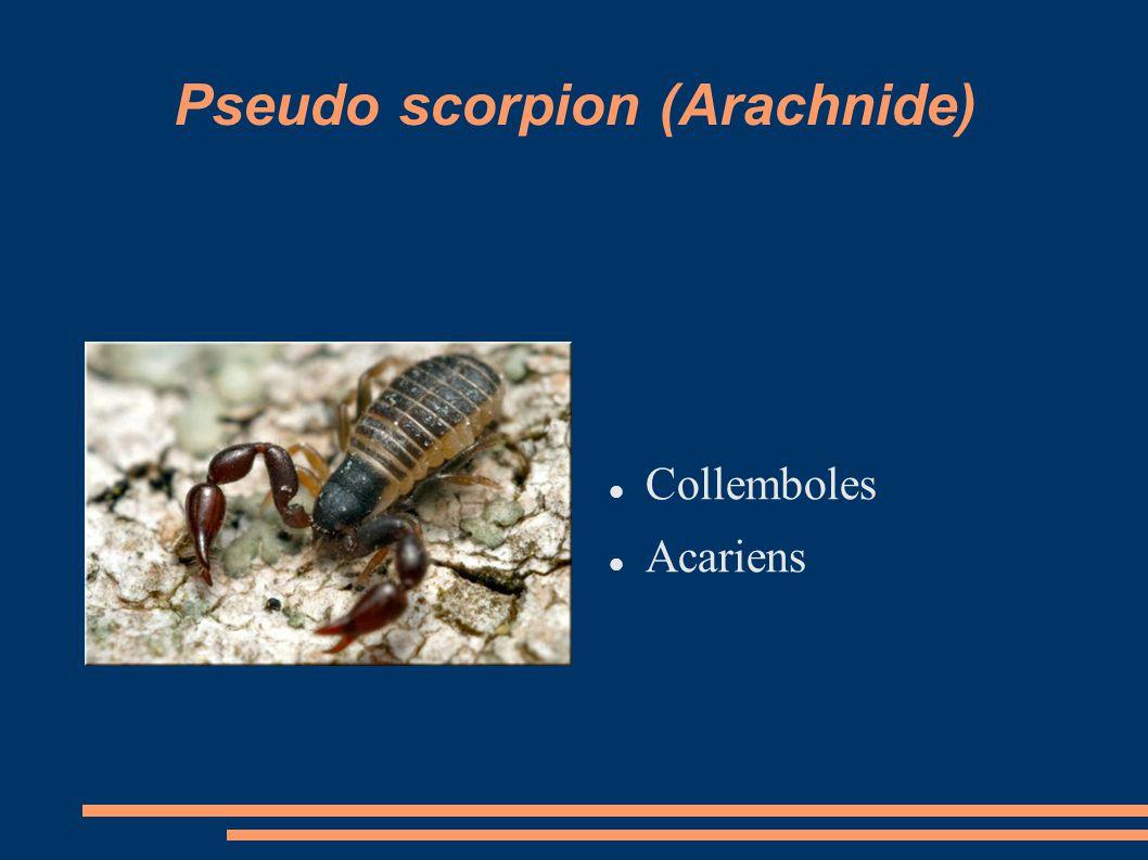 Pseudo scorpion (Arachnide)