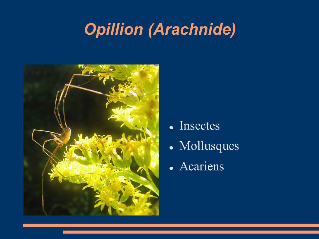 Opillion (Arachnide) Insectes Mollusques Acariens