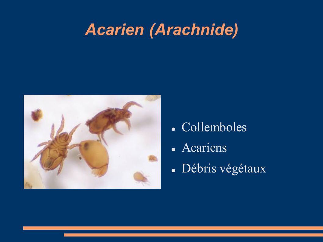 Acarien (Arachnide) Collemboles Acariens Débris végétaux