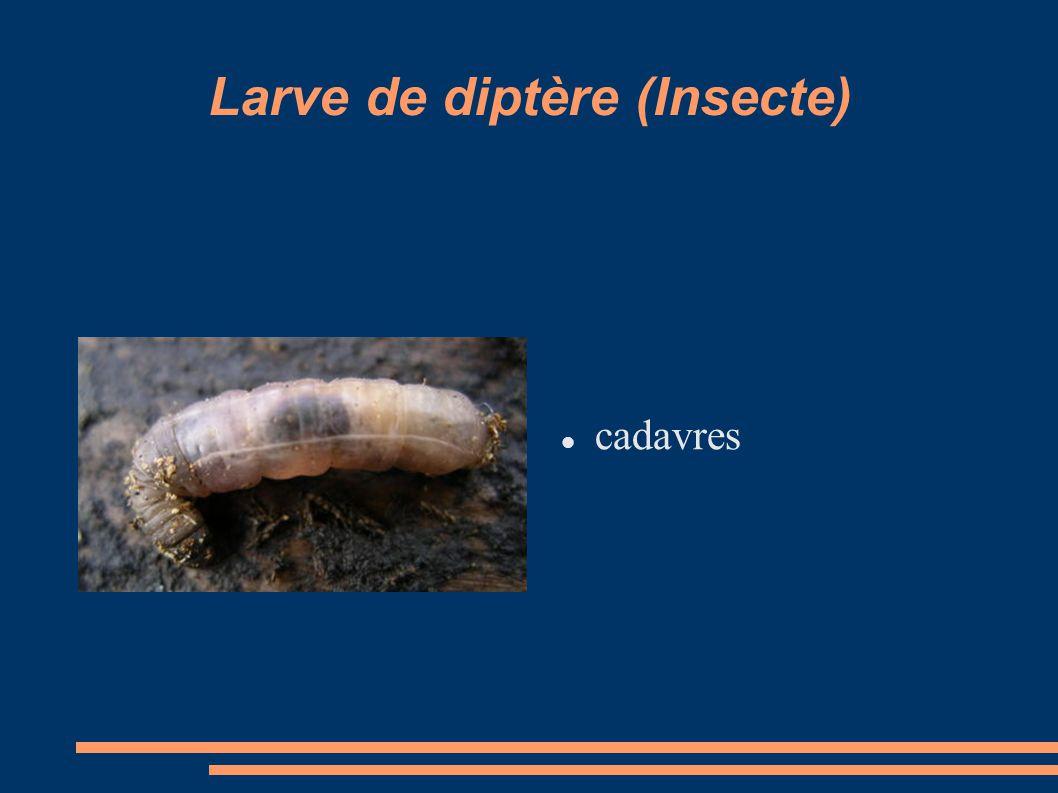 Larve de diptère (Insecte)
