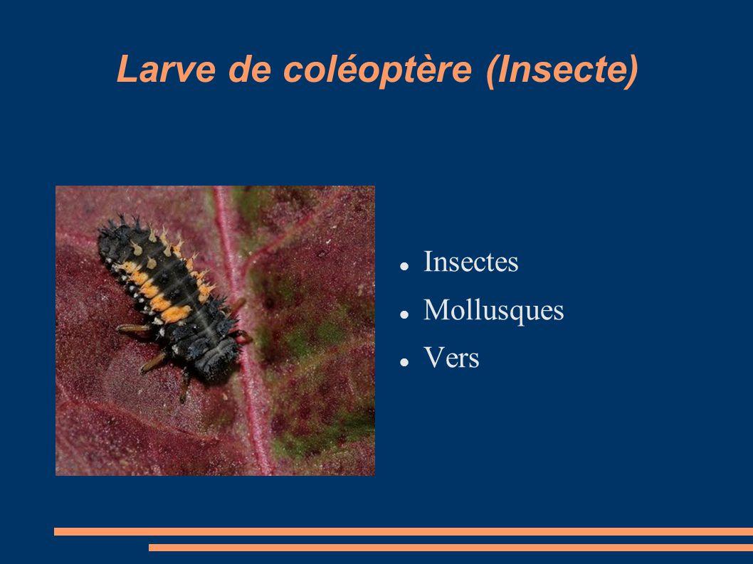 Larve de coléoptère (Insecte)