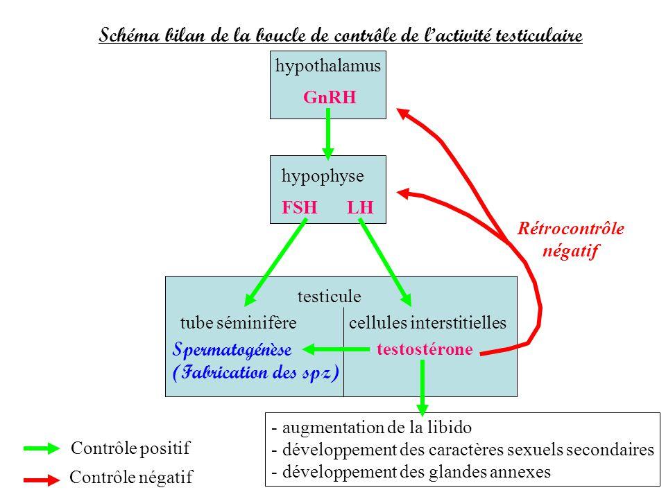Schéma bilan de la boucle de contrôle de l'activité testiculaire