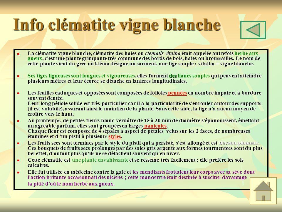 Info clématite vigne blanche