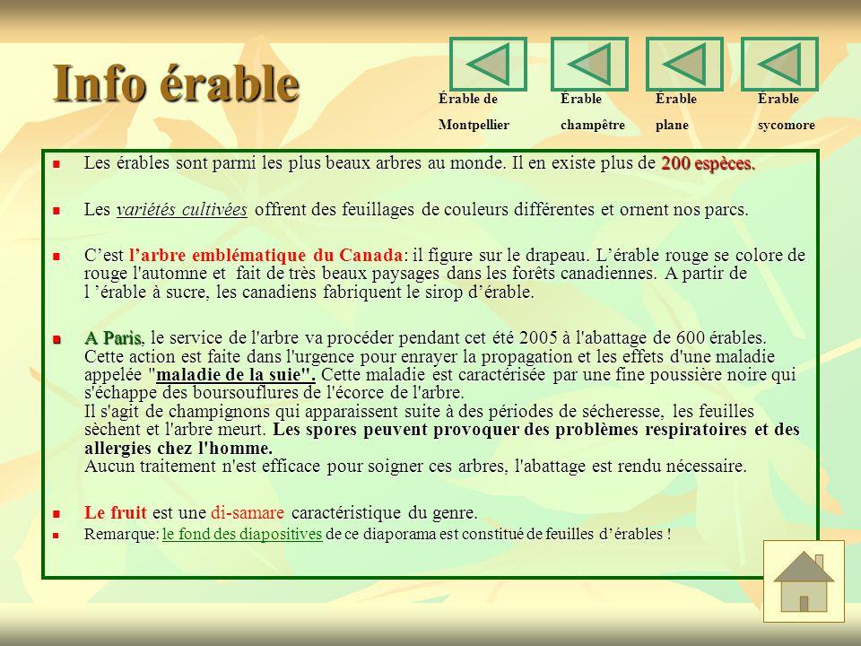 Info érable Érable de. Montpellier. Érable. champêtre. Érable. plane. Érable. sycomore.