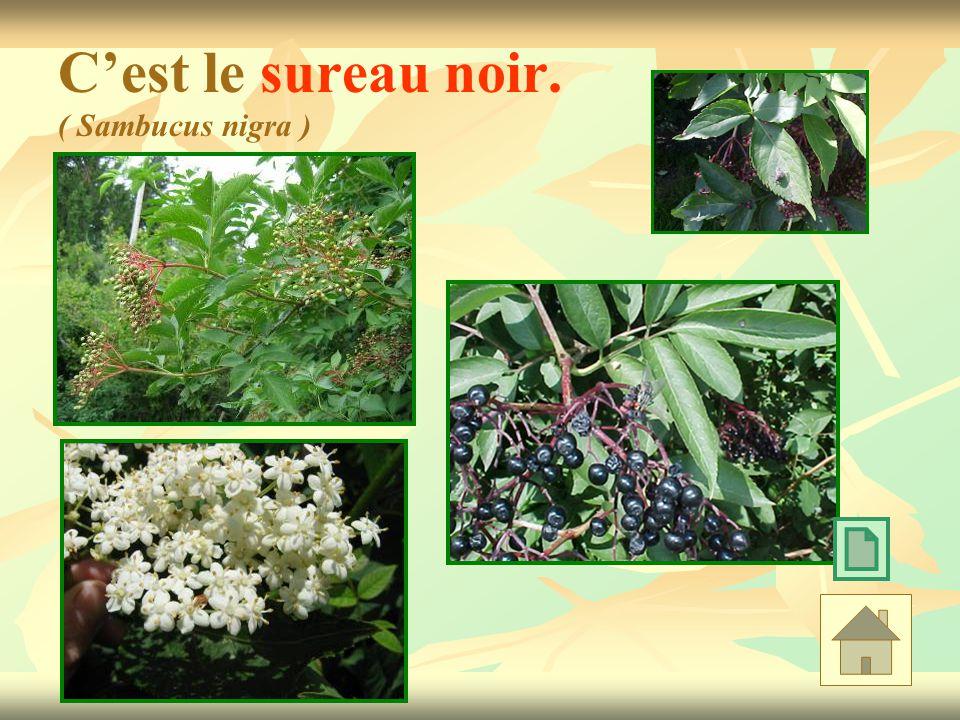 C'est le sureau noir. ( Sambucus nigra )