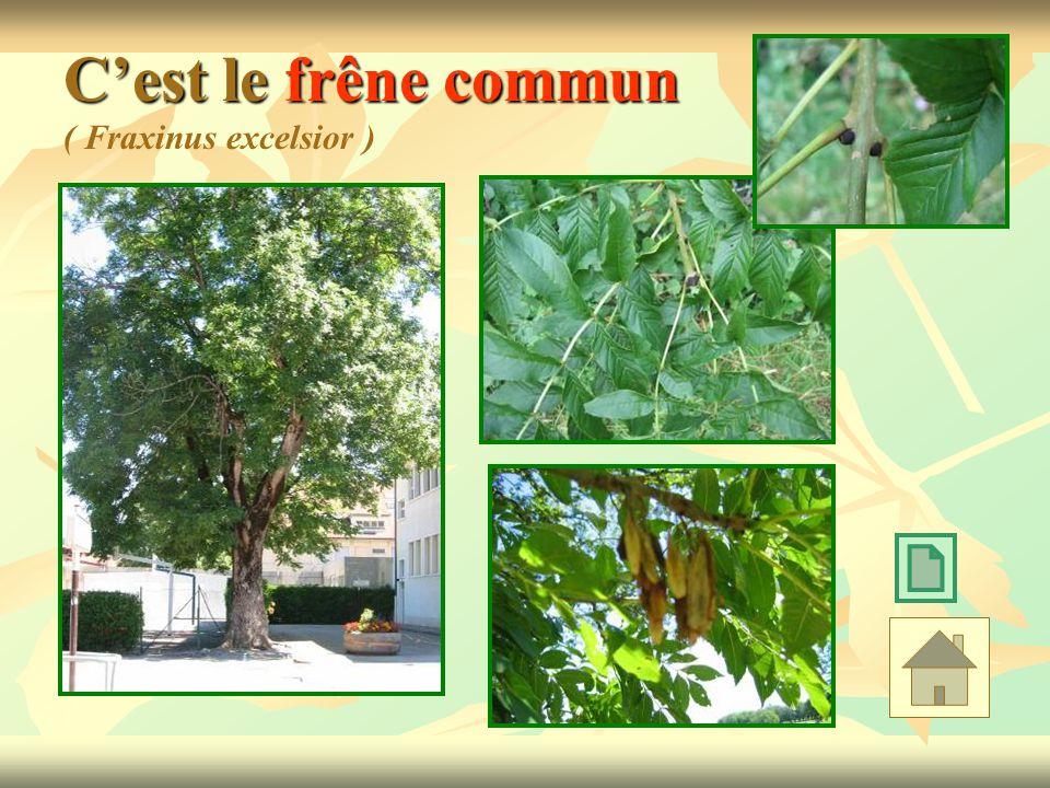 C'est le frêne commun ( Fraxinus excelsior )