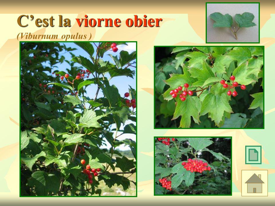 C'est la viorne obier (Viburnum opulus )