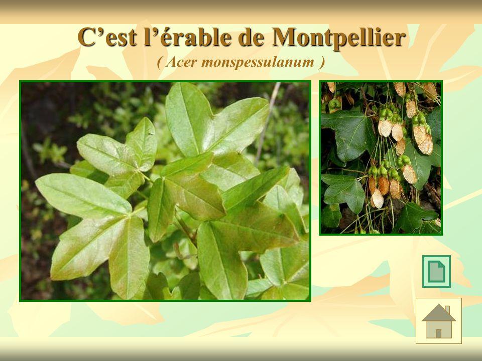 C'est l'érable de Montpellier ( Acer monspessulanum )