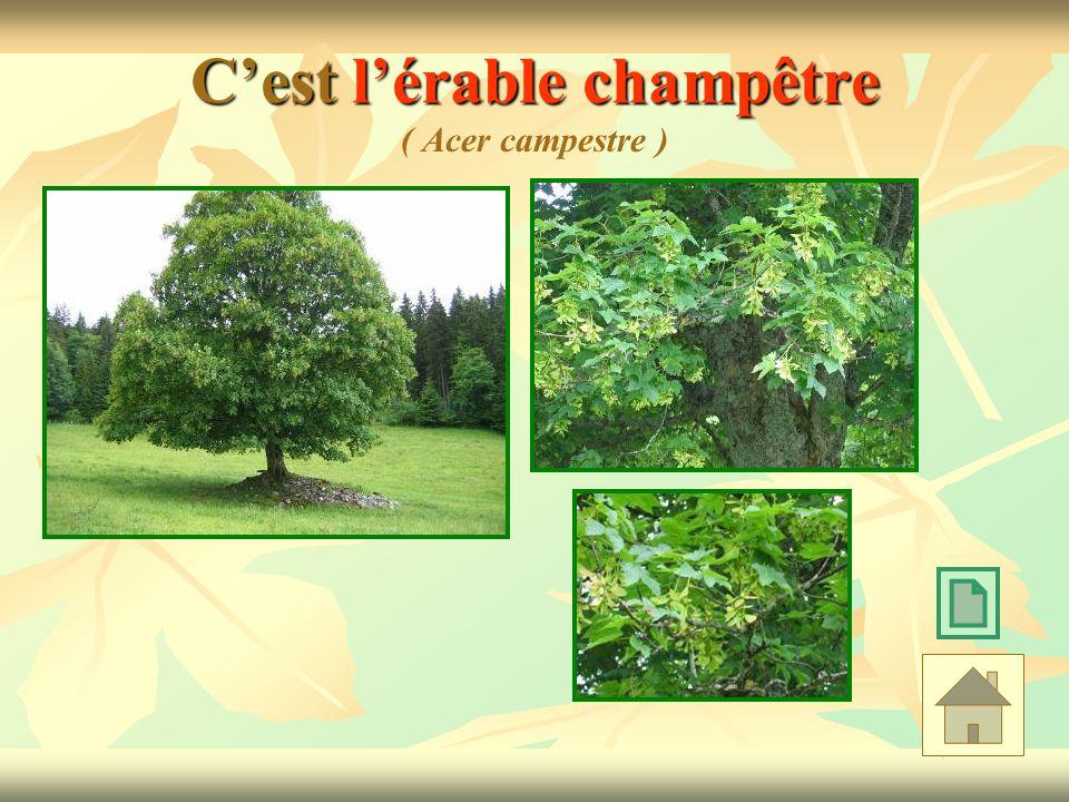 C'est l'érable champêtre ( Acer campestre )