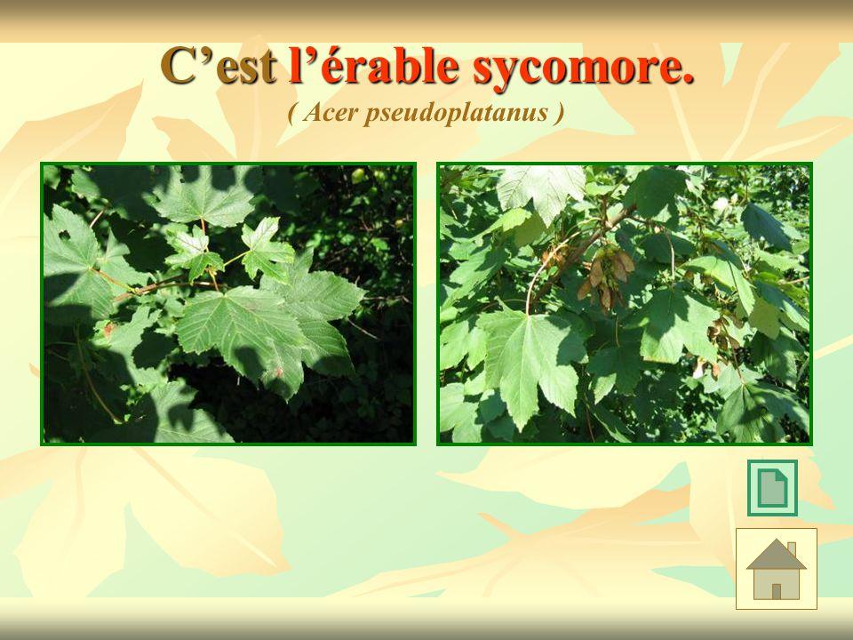 C'est l'érable sycomore. ( Acer pseudoplatanus )
