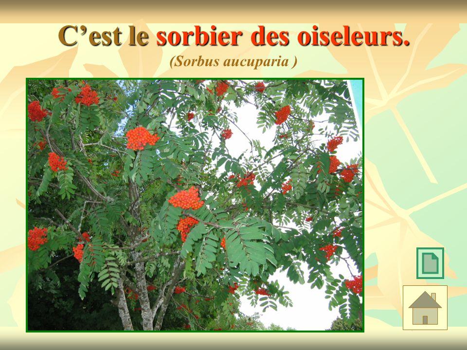C'est le sorbier des oiseleurs. (Sorbus aucuparia )