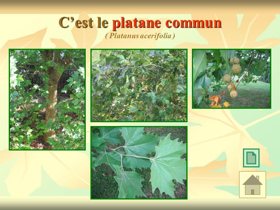 C'est le platane commun ( Platanus acerifolia )