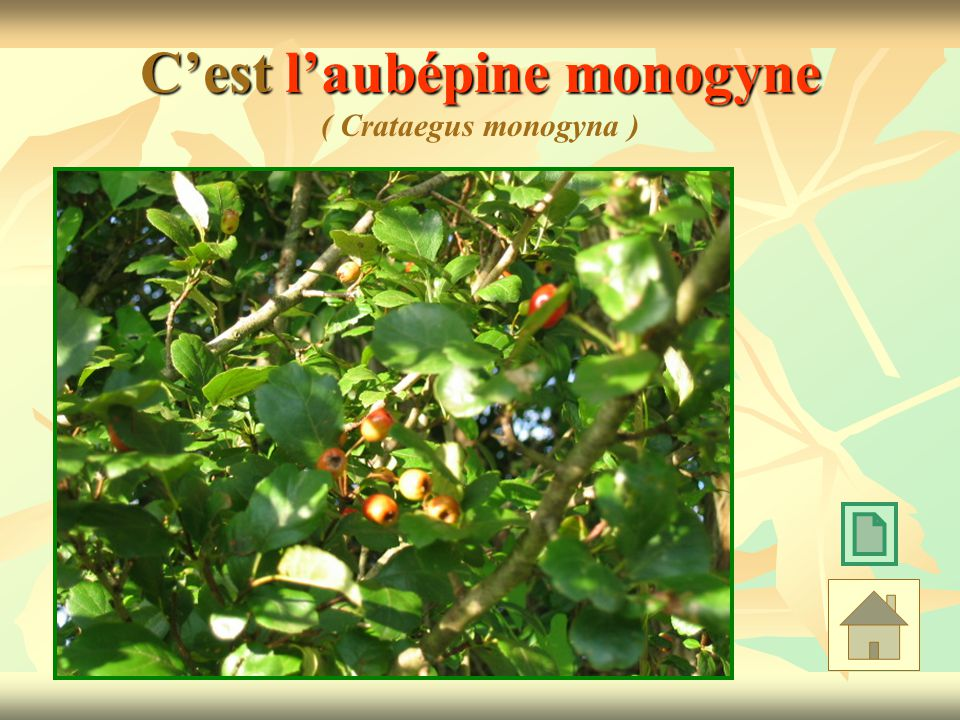 C'est l'aubépine monogyne ( Crataegus monogyna )