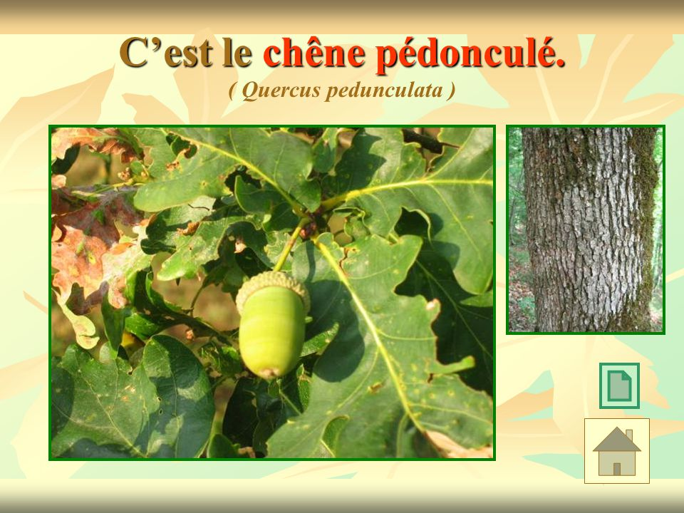 C'est le chêne pédonculé. ( Quercus pedunculata )
