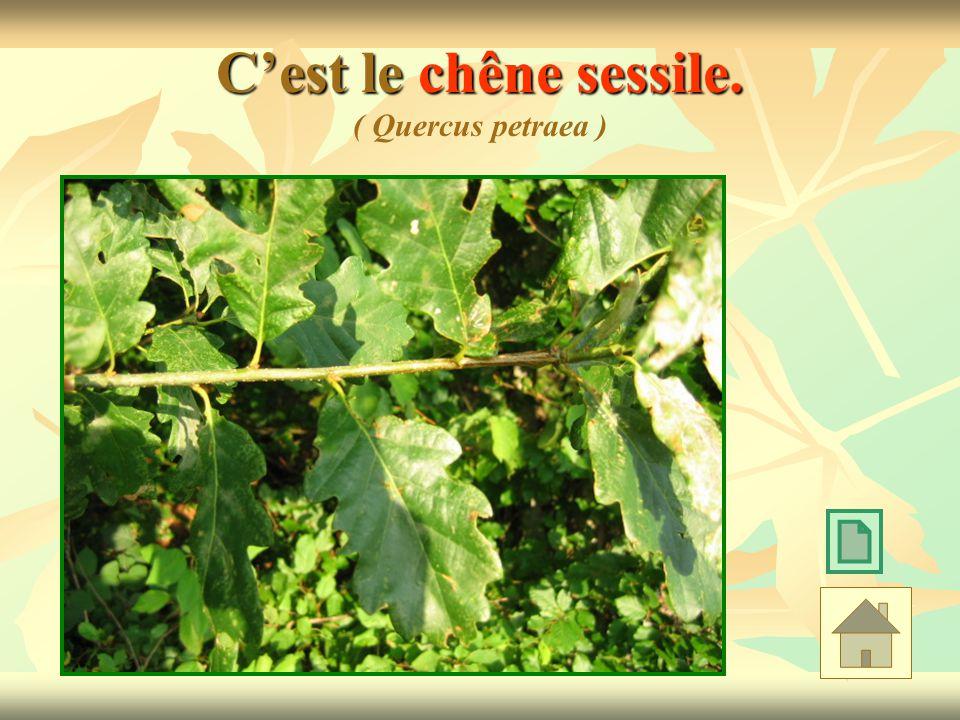 C'est le chêne sessile. ( Quercus petraea )