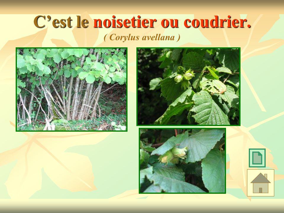 C'est le noisetier ou coudrier. ( Corylus avellana )