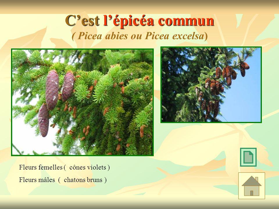 C'est l'épicéa commun ( Picea abies ou Picea excelsa)