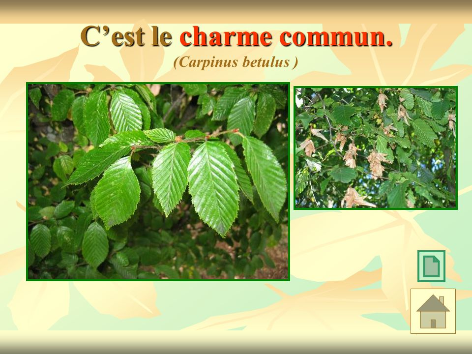 C'est le charme commun. (Carpinus betulus )
