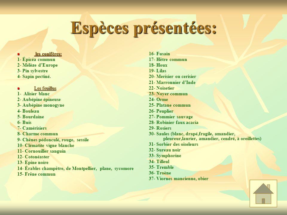 Espèces présentées: les conifères: 1- Épicéa commun 2- Mélèze d'Europe