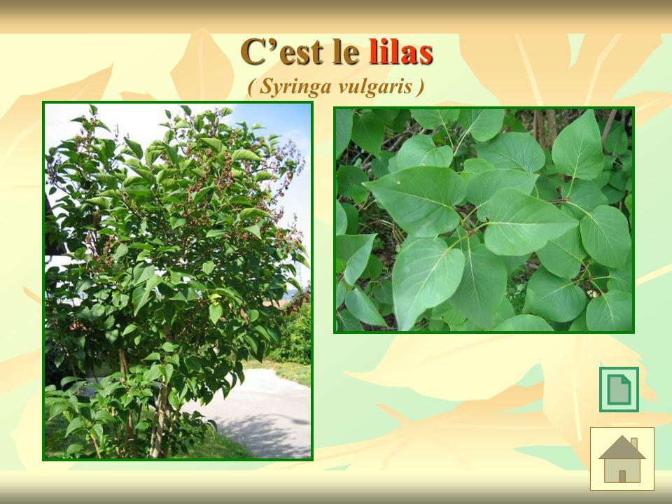 C'est le lilas ( Syringa vulgaris )