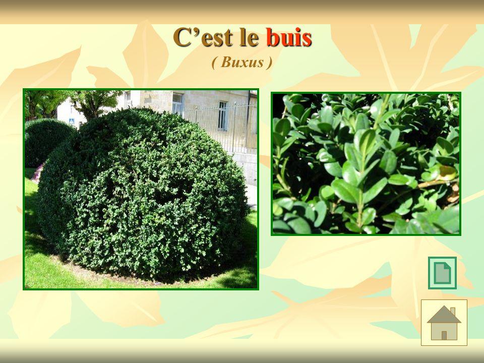 C'est le buis ( Buxus )